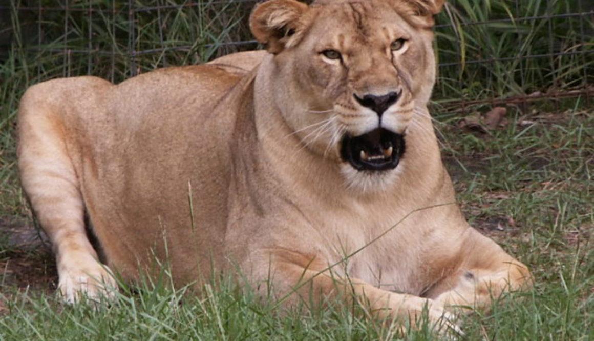 Sarabi Lioness