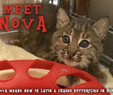 Meet Nova Bobcat