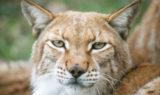 Siberian Lynx STALKER