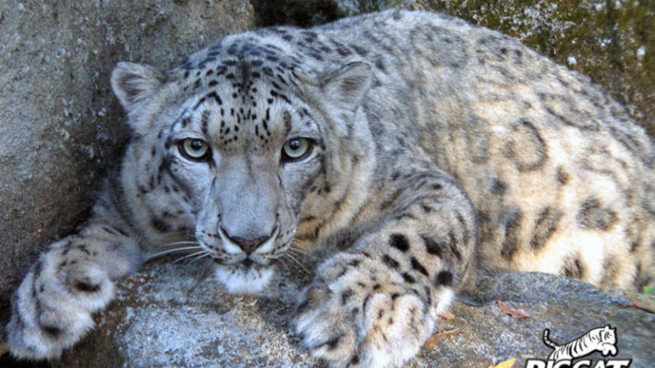 Saving The Snow Leopards