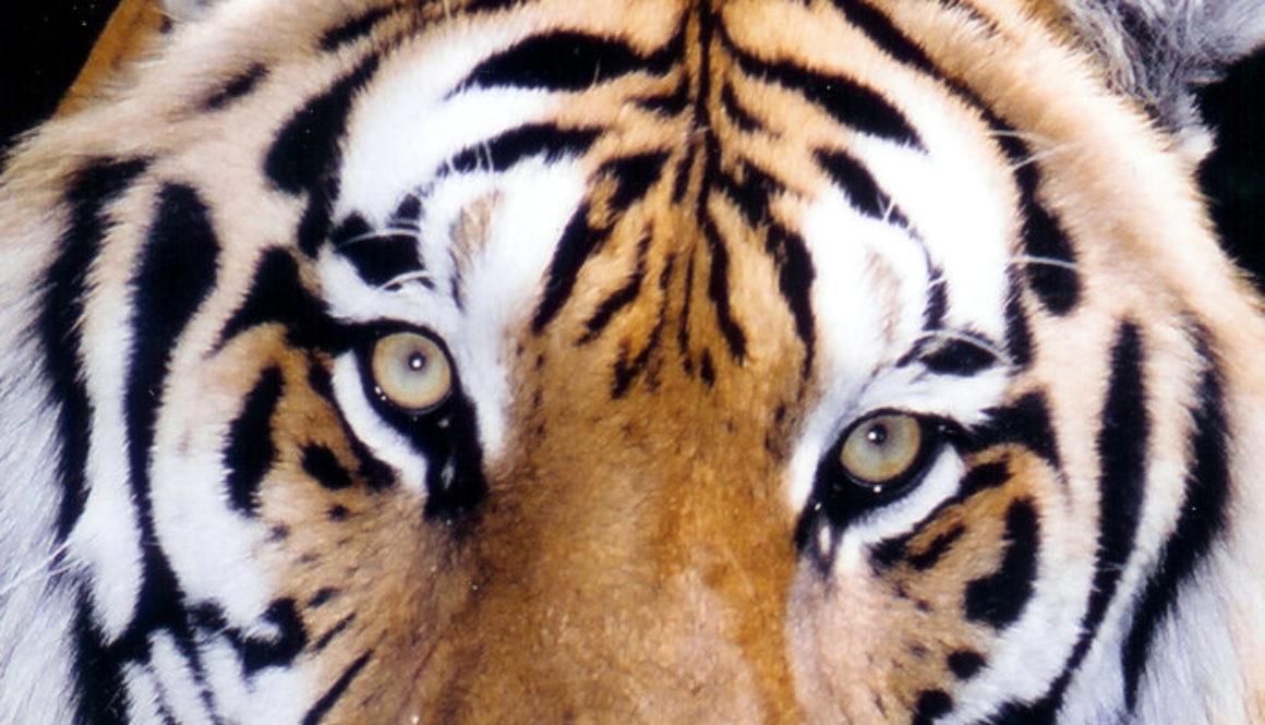 Tiger-JV-300DPItigereyes