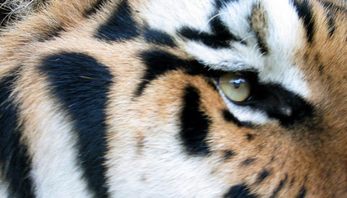 Tiger-JV-FurBall 001