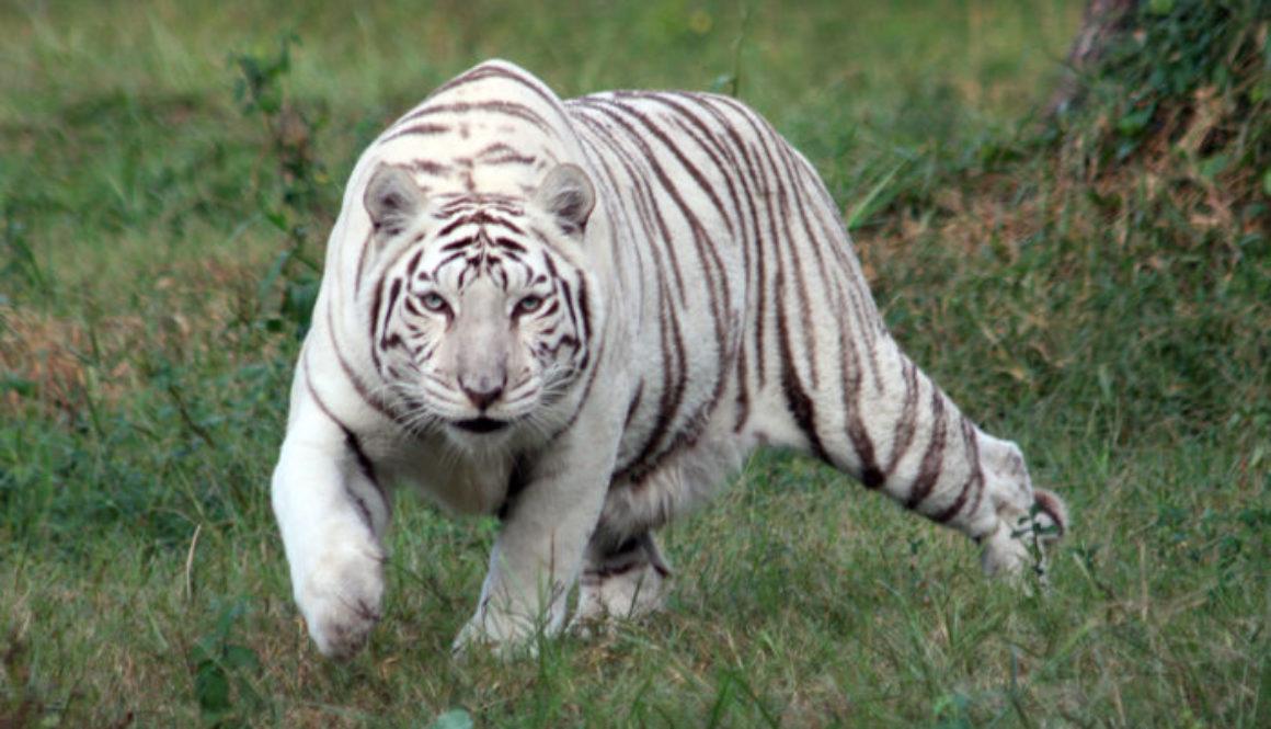 Tiger-JV-Zabu2