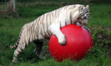 Tigers-BCR-White-1-12-07 Zabu licks ball