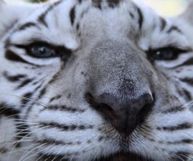 Zabu Tiger IMG_9613-WP