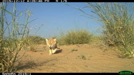 Sand Cats in Morocco 1