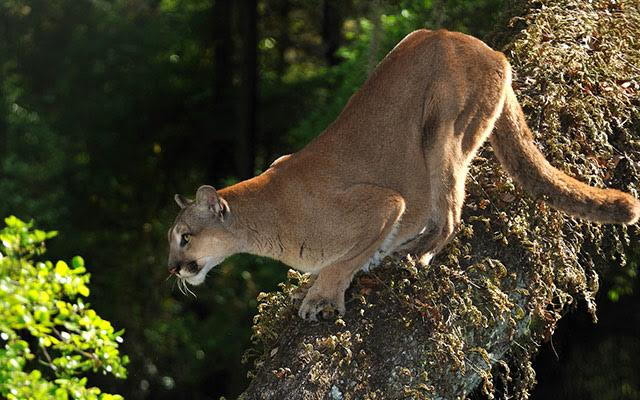The Nature Conservancy Florida Florida Panther
