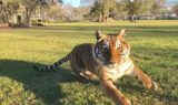 priya tiger having fun