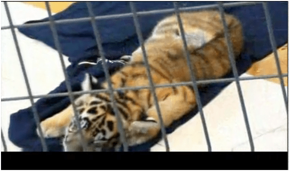 Ringworm Tiger Cub