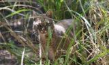Sioux_Bobcat