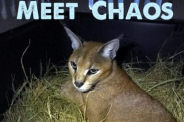 Big Cat Rescue is caring for big cats and ending the trade