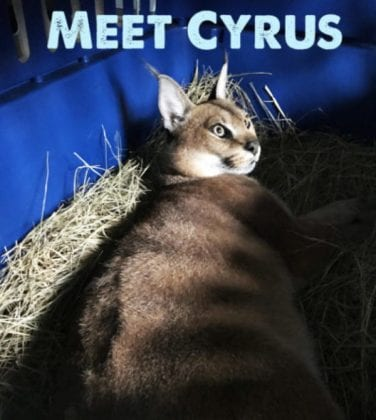 Meet Cyrus Caracal! He's on his way to relative freedom at Big Cat Rescue right now! He's 6 years old and was being illegally used for hybrid breeding at a cattery in Ohio before being seized by the state. With your help he will enjoy a huge new Cat-a-Tat near his friend (maybe sister, Chaos) Donate by clicking the Donate button or safely online here: https://salsa4.salsalabs.com/o/51389/p/salsa/donation/common/public/?donate_page_KEY=10097