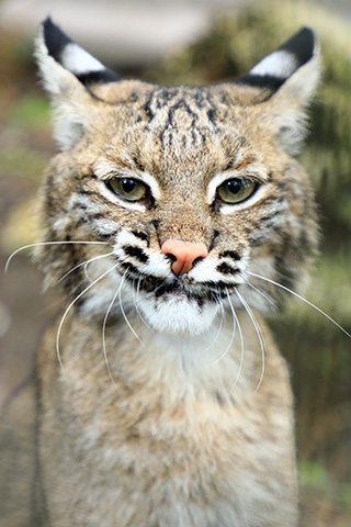 Sioux-bobcat