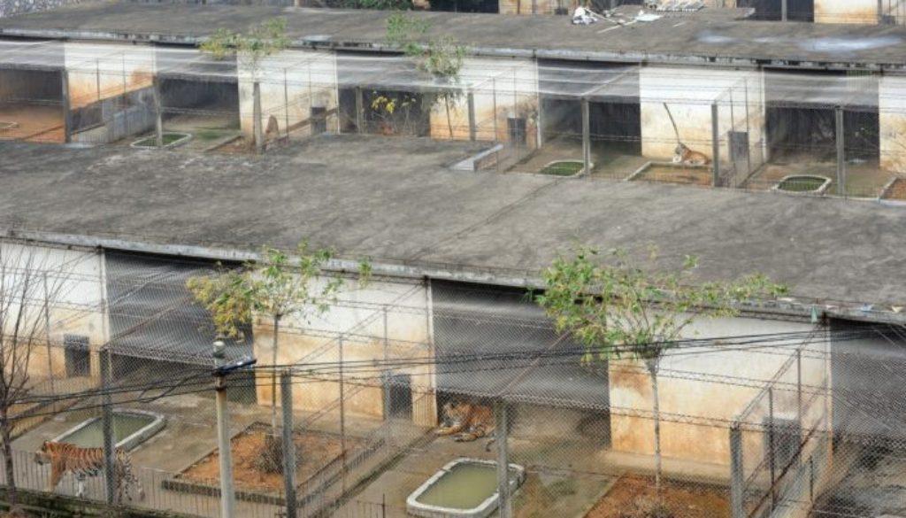Tiger Farm 1