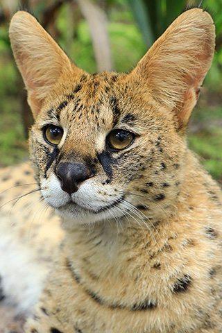 Zucari-serval