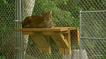 Nova Rehab Bobcat kitten - Our baby girl has gotten so big, soon be time for her to go free.