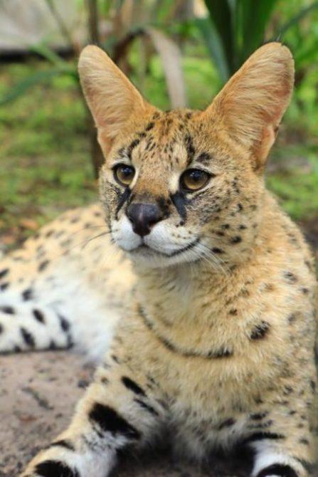 Zucari | Big Cat Rescue