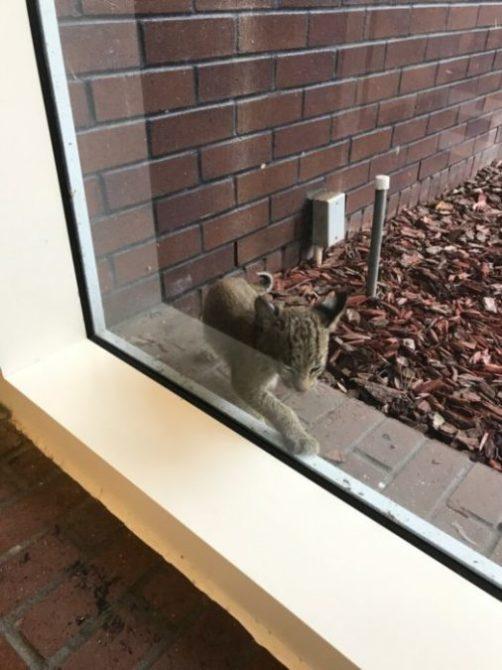 Bobcat Kitten Rescue Attempt | Big Cat Rescue