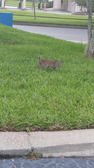 Baby Bobcat Rescue Attempt