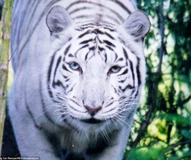 White Tiger Lessons for Teachers