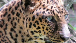 armani leopard by marylou