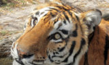 Andre Tiger