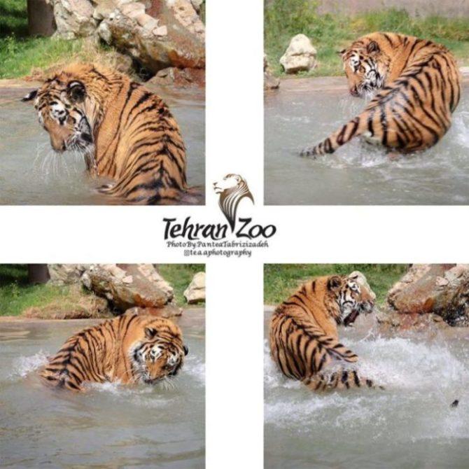 Olesya Tiger