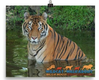 "Celebrate Big Cat Rescue's 25th anniversary and help support conservation projects aimed at saving tigers, ocelots, cougars, bobcats, and lions in the wild with the purchase of this awesome 2017 Wildcat Walkabout photo. Glossy color 8x10 photo of Hoover the tiger features the Wildcat Walkabout logo silhouettes of tiger, ocelot, cougar, bobcat, and lion and the text ""Wildcat Walkabout - Big Cat Rescue - 25 Saving Big Cats for 25 Years - End Exploitation, Support Conservation. Proceeds from the sale of these tees go towards; Primorskii Regional Non-commercial Organization in Russia, S.P.E.C.I.E.S. in Trinidad, The Mountain Lion Foundation and the Felidae Conservation Fund in California, and Working Dogs for Conservation in Africa."