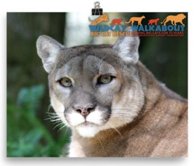 "Celebrate Big Cat Rescue's 25th anniversary and help support conservation projects aimed at saving tigers, ocelots, cougars, bobcats, and lions in the wild with the purchase of this awesome 2017 Wildcat Walkabout photo. Glossy color 8x10 photo of Reise the cougar features the Wildcat Walkabout logo silhouettes of tiger, ocelot, cougar, bobcat, and lion and the text ""Wildcat Walkabout - Big Cat Rescue - 25 Saving Big Cats for 25 Years - End Exploitation, Support Conservation. Proceeds from the sale of these tees go towards; Primorskii Regional Non-commercial Organization in Russia, S.P.E.C.I.E.S. in Trinidad, The Mountain Lion Foundation and the Felidae Conservation Fund in California, and Working Dogs for Conservation in Africa."