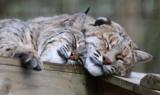 Bobcats Lovey Thurston Afton Tasler