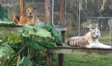 """Cameron was saying. """"I am on the lions platform and Bubu is on the tigers platform. Capiche.!"""""""