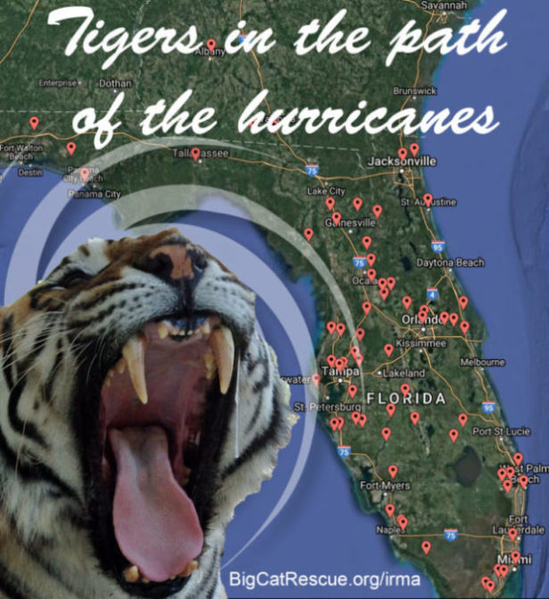 Tigers In The Path Of Hurricanes
