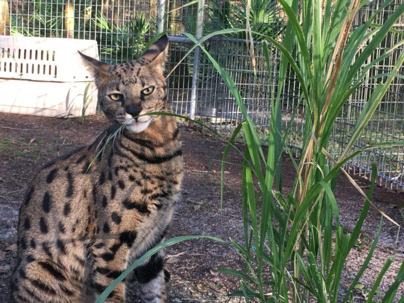 Beacher-Savannah-Cat