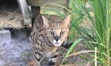 Beacher-Savannah-Cat