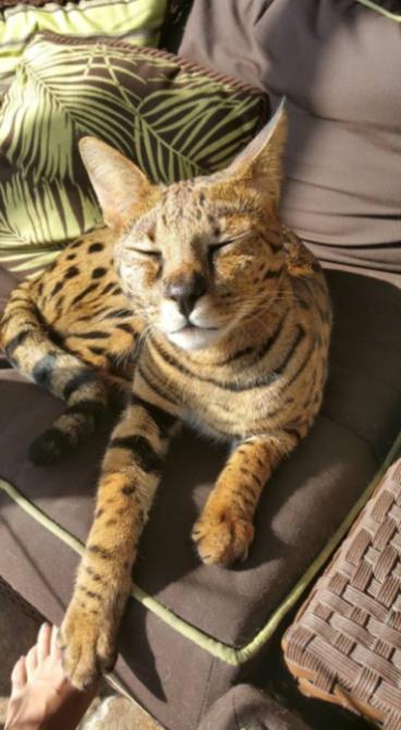 Beacher Savannah Cat