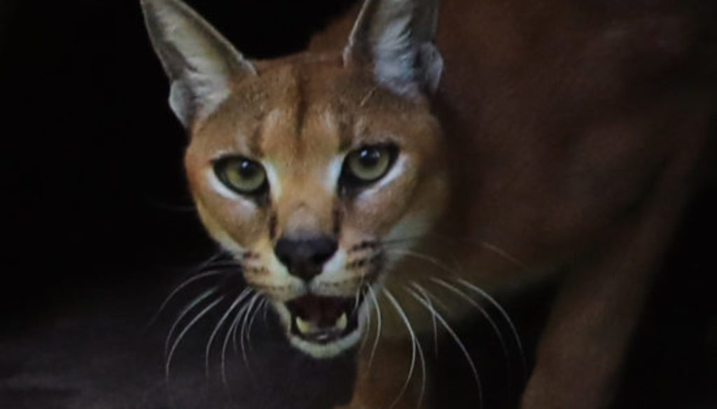 Chaos Caracal looking surprised the keepers found her. She likes to hide from Cyrus.