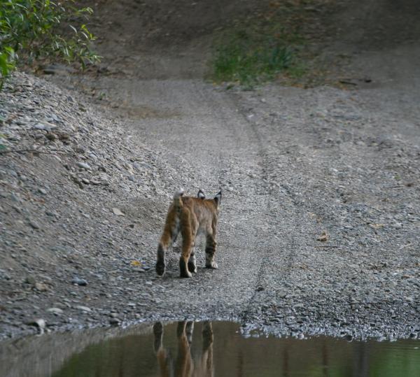 Felidae Bobcat Conservation