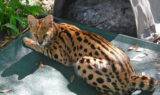 Ginger-sittingon tail-look im a bobcat-desmond fowles-SQ