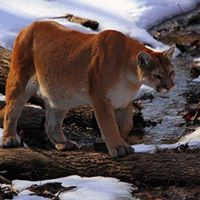 Mountain Lion Foundation Conservation