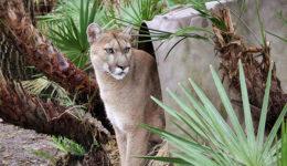 1487Maya-Cougar-BrittanyMira