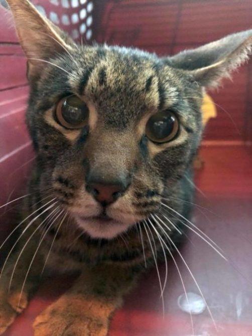 Texas Savannah Cat Rescue