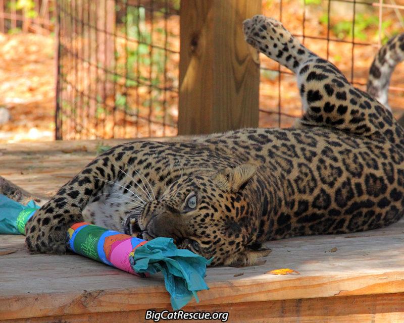 Armani Leopard with Christmas Enrichment