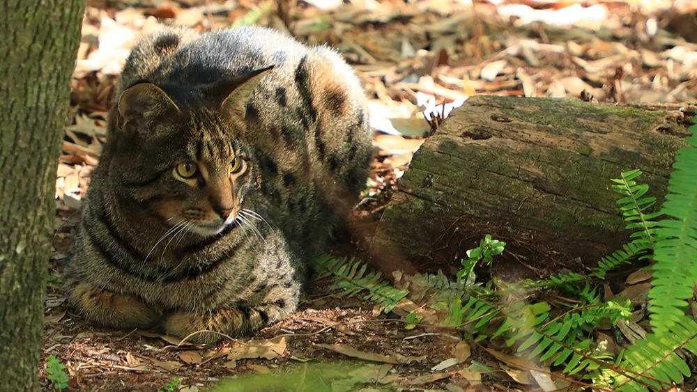 Loki Savannah Cat
