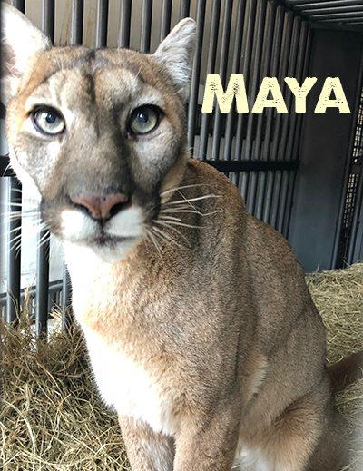 Maya-Cougar