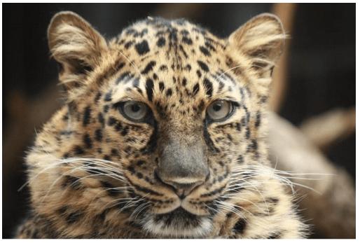 Nat Amur Leopard