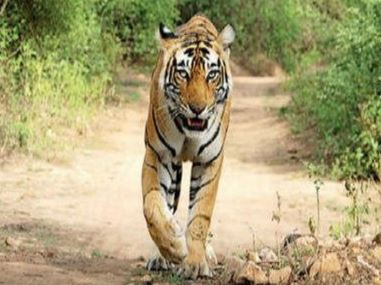 News Article: At 67, Ranthambhore tiger numbers at all-time high
