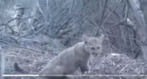 News Article: Santa Monica Park Officials Post Video of Mountain Lion Kittens Feeding, 'Chirping for Mom'