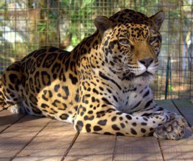 Jaguar Facts Big Cat Rescue - 15 transparent animals that almost dont look real