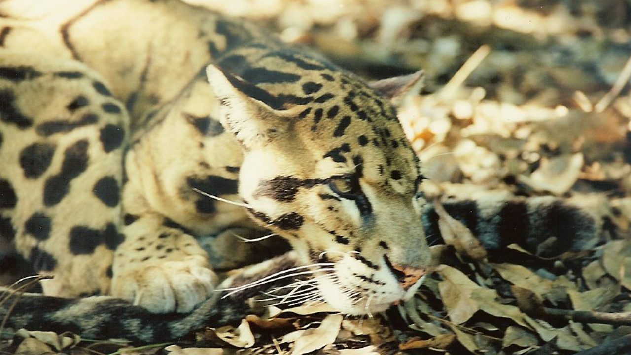 What are the Scientific Names for Common Wild Cat Species?