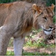 Largest safari club in the US slams the door shut on SA's canned lion industry
